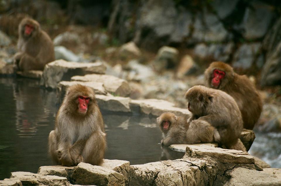 Công viên khỉ Jigokudani (Nagano): Nằm tại Nagaso, công viên Jigokudani là điểm thu hút khách du lịch nước ngoài bởi khung cảnh những con khỉ mặt đỏ thư giãn bên suối nước nóng trong mùa đông lạnh. Công viên có khoảng hơn 200 con khỉ vẹt, loài khi mặt đỏ quý hiếm. Bao quanh những khu suối nước nóng, nơi bầy khỉ tắm onsen là các ngọn núi được bao phủ bởi băng tuyết. Những con khỉ ở đây thoải mái, vô tư tắm suối, thư giãn như con người mà không hề quan tâm đến sự xuất hiện của các vị khách du lịch hiếu kỳ. Ảnh: Bryan.