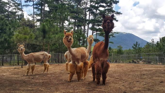 ZooDoo chủ yếu nuôi những con vật đáng yêu, ít thấy ở Việt Nam như kangaroo, cừu đầu đen quen thuộc với trẻ em qua phim hoạt hình Shaun the Sheep, cừu đốm, ngựa lùn pony, lạc đà không bướu Alpaca, chồn, cầy Merkaat...