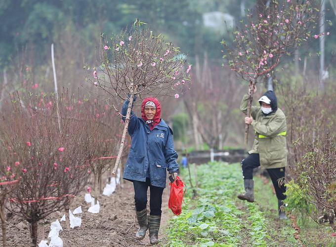 Những ngày này, nhiều người trồng đào ở Nhật Tân (Tây Hồ, Hà Nội) bận rộn chuẩn bị cho vụ Tết. Theo họ, thời tiết mưa rét gần đây thuận lợi cho việc chăm sóc, đưa hoa đào nở đúng dịp để phục vụ thị trường.
