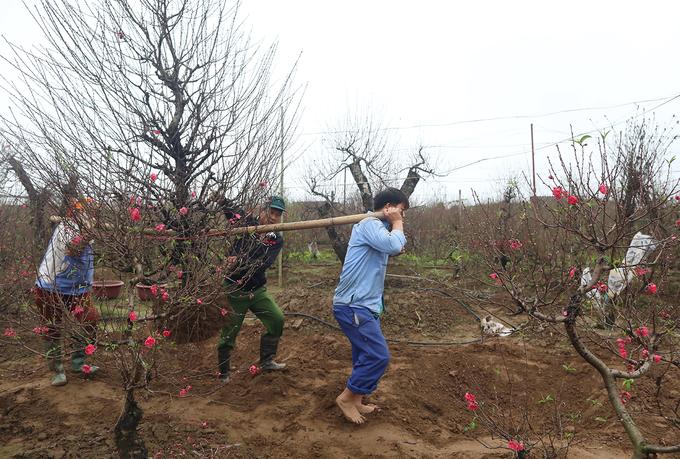 Nhiều hộ trồng đào phải thuê thêm nhân công để chuyển các chậu cây đưa đi tiêu thụ.