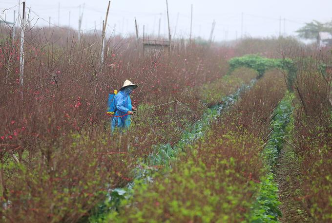 """Những luống đào thẳng tắp chờ bung nở. """"Khoảng trước Tết Nguyên đán 3 tuần, cây đào lác đác có hoa là vừa đẹp để chơi trong Tết"""", một người dân địa phương cho hay.  Nghề trồng đào ở Nhật Tân vốn nổi tiếng ở Hà Nội, tuy nhiên từng có thời gian mai một do đô thị hóa, quỹ đất trồng đào bị thu hẹp. Khoảng hơn 10 năm trở lại đây, nghề trồng đào được khôi phục ở khu vực bãi giữa sông Hồng, với các vườn đào trồng nhiều loại như đào bích, đào trắng, đào phai, đào lai ghép, đào thất thốn, đào rừng cổ thụ..."""