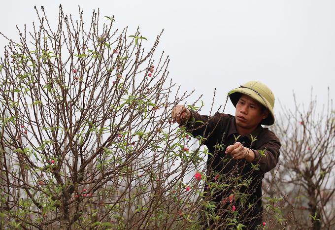 """Anh Hữu đang tuốt lá để cây ra hoa đúng dịp Tết nguyên đán. """"Các kỹ thuật chăm sóc đào trong đó có tuốt lá có thể giúp cây ra hoa sớm hoặc muộn, bán trước Tết và thậm chí cho đến rằm tháng Giêng"""", anh Hữu nói."""