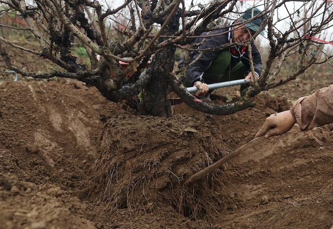Một cây đào có dáng và thế đẹp được đánh chuyển đưa đi tiêu thụ. Chủ vườn cho hay để cây hoa tươi và sống lâu thì phải giữ nguyên bầu đất và chùm rễ.