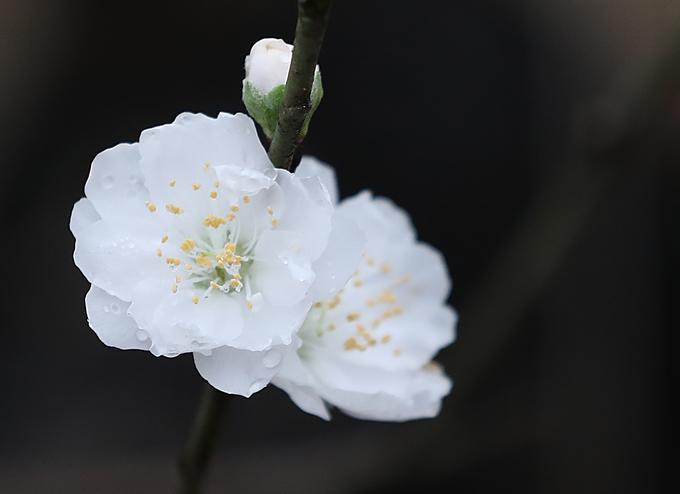 """Hiện ở vườn đào Nhật Tân có một cây đào trắng (Bạch đào) 12 năm tuổi.  """"Quá trình trồng và chăm sóc đào trắng rất khó khăn, hơn nữa không phải năm nào cây cũng ra hoa đúng dịp. Năm nay thời tiết thuận lợi nên cây có nhiều hoa, cành đào trắng này dự kiến bán giá 10 triệu đồng"""", bà Nguyễn Thị Thư (chủ cây đào) nói."""