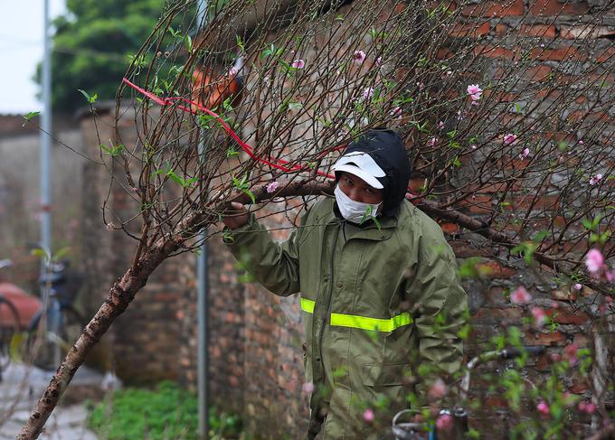 Một cành đào phai 2 năm tuổi có dáng đẹp được bán buôn tại vườn với giá 600.000 đồng.