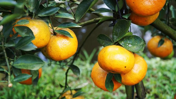 """Lai Vung, Đồng Tháp từ lâu được mệnh danh là """"vương quốc quýt"""" ở miền Tây khi có gần 2.000 hecta đất trồng trái cây này. """"Hàng năm, vùng này cung cấp cho thị trường 20.000 - 40.000 tấn quýt"""", theo anh Dương Trọng, chủ một vườn quýt tại xã Long Hậu."""