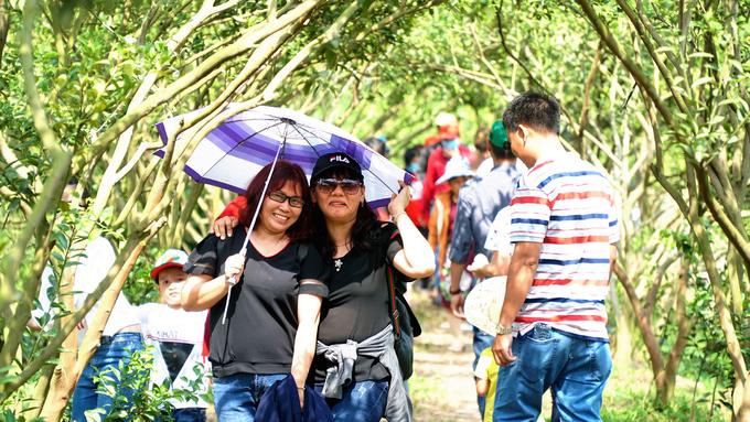 Giáp Tết cũng là thời điểm quýt sai trái. Chính vì vậy, các vườn đón đông một lượng khách lớn từ các tỉnh TP HCM, Cần Thơ, Vĩnh Long... Trời nắng chói chang nhưng nhiều du khách vẫn không ngại để ghé các vườn tham quan.