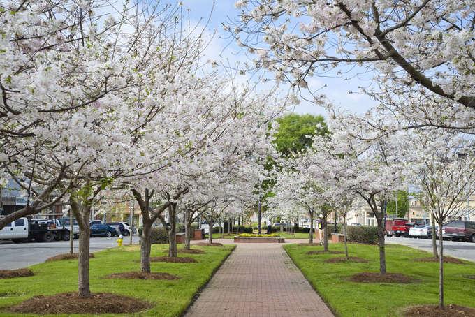 Ba thành phố có mùa hoa anh đào nổi tiếng nhất thế giới – iVIVU.com