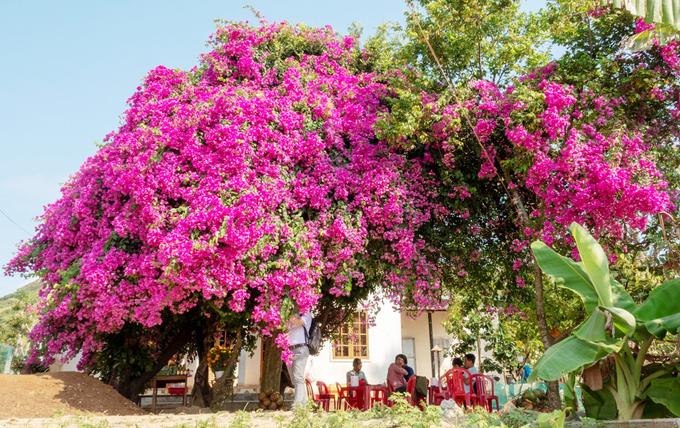 Cây hoa giấy khổng lồ trên đảo Lý Sơn thu hút du khách – iVIVU.com