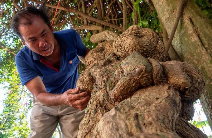 Gốc cây có đường kính hơn 20 cm. Ông Nguyễn Văn Lựa, con trai bà Nhiều, cho biết, dù gốc và thân cây to lớn, xù xì nhưng vẫn cần bệ đỡ nương theo là cây duối bên cạnh (phải).