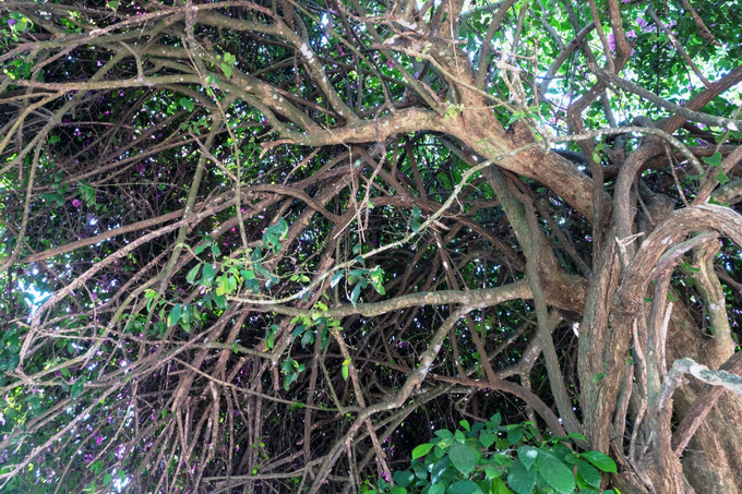 Tán cây chằng chịt cành đan xen vào nhau.