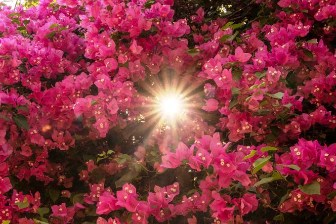"""Cây nở bông từ tháng Chạp đến tháng 9 năm sau. """"Năm nay thời tiết thuận lợi, có nắng sớm nên hoa nở nhiều, đẹp hơn mọi năm"""", bà Nhiều nói."""