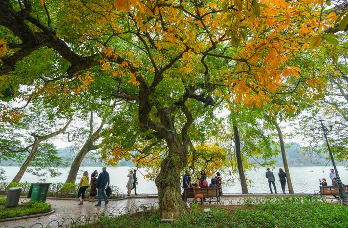Cây lộc vừng nổi tiếng trên bờ hồ Hoàn Kiếm nằm đối diện ngã ba đường Đinh Tiên Hoàng - Trần Nguyên Hãn vào mùa thay lá. Hàng năm, cứ vào độ qua Tết nắng ấm tràn về miền Bắc là cây trút lá vàng.