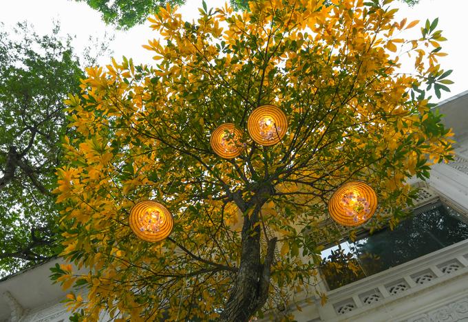 Cây lộc vừng trên phố Lê Thái Tổ được một nhà hàng trang trí những chiếc nón lá. Từ giữa tháng 2, tháng 3, những loại cây như bàng, sưa trắng, lộc vừng, bằng lăng lại đồng loạt thay áo mới đem đến sắc vàng, cam, đỏ rực trên nhiều tuyến phố.