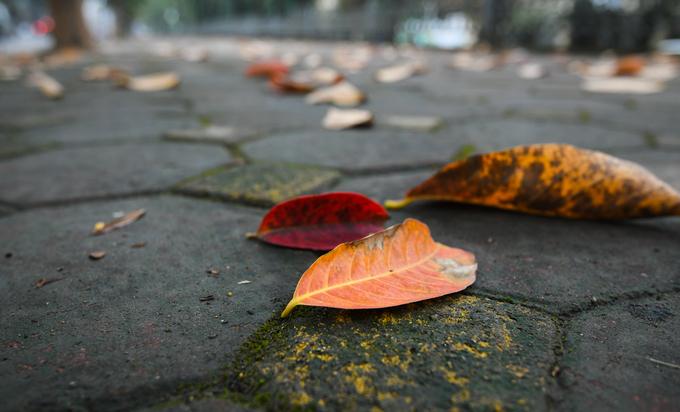 Sắc đỏ, cam của lá biến mất rất nhanh sau khi rụng xuống. Chỉ một ngày sau, lá đã khô lại và chuyển màu nâu.