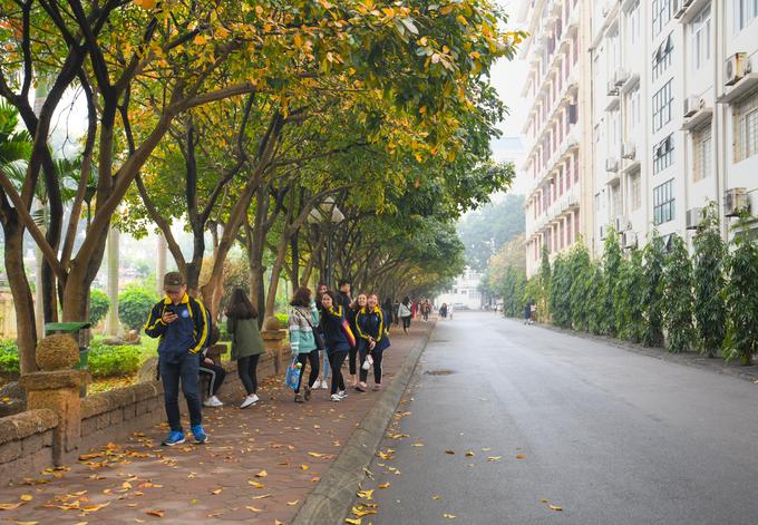 """Hàng lộc vừng trong khuôn viên Đại học Quốc gia Hà Nội. Bạn Thư, sinh viên khoa tiếng Anh, Đại học Ngoại ngữ, cho biết: """"Cây thay màu lá rất nhanh. Chỉ trong vòng 2 tuần, cả hàng cây đã nhuộm sắc vàng""""."""