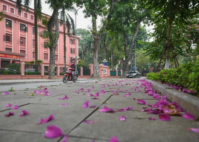 Ban tím cũng được trồng tại nhiều ngã ba, ngã tư của Hà Nội. Trong ảnh là những cánh hoa bên vỉa hè phố Hoàng Văn Thụ, trước trụ sở Bộ Kế hoạch và Đầu tư.