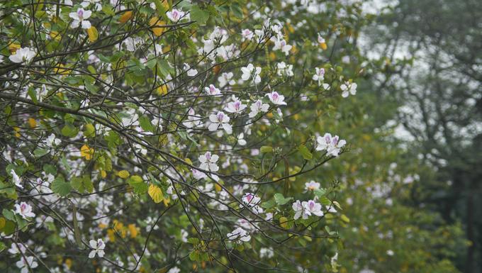 Cây không mọc thẳng mà khẳng khiu uốn khúc, chia cành, phân nhánh. Vào mùa đông cây trút lá, dồn nhựa vào thân đợi xuân sang ấm áp đâm chồi nảy lộc trở lại.