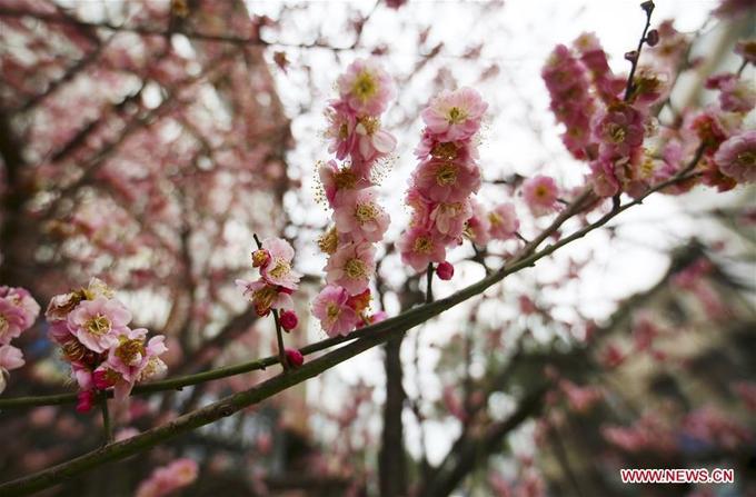 Đào nở kín cây ở ngôi làng Xinguo, khu tự trị người Zhuang ở Quảng Tây, báo hiệu mùa xuân đã về.