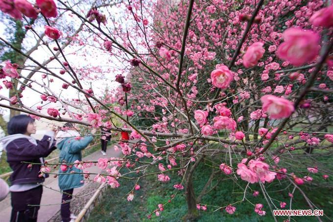 Một điểm ngắm hoa đào khác ở Lishui, tỉnh Chiết Giang. Hoa đào ở Trung Quốc gần giống hoa đào Việt Nam, có nhiều lớp cánh tròn, màu hồng sẫm, nở dịp Tết nguyên đán.