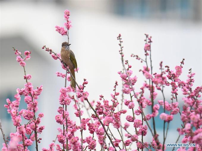 Khung cảnh đẹp như tranh vẽ khi một chú chim dừng chân trên ngọn đào tại Kaili, tỉnh Quế Châu.