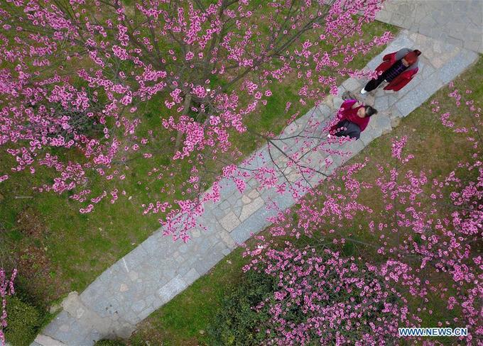 """Năm nay khí hậu ngày Tết khá ấm áp nên hoa đào trên khắp Trung Quốc nở sớm và đồng loạt. Quế Châu, Nam Ninh là hai trong số nhiều tỉnh """"thay màu áo hoa"""" vào mùa xuân, thu hút nhiều khách đến chiêm ngưỡng."""