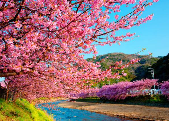 Chiêm ngưỡng những cây anh đào đầu tiên - Ảnh: Live Japan