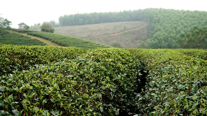 Không khí ở đây mát mẻ, nhiệt độ dao động từ 17 đến 28 độ C, tạo điều kiện thuận lợi để phát triển nghề trồng chè.