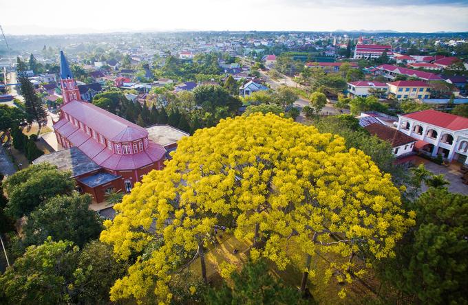 Hiện thành phố Bảo Lộc có khoảng 15 cây phượng vàng được trồng tại các khu vực như nhà thờ Tân Thanh (xã Lộc Thanh), tu viện Bát Nhã (xã Đam B'ri), trường Cao đẳng Công nghệ - Kinh tế Bảo Lộc, trường THPT Châu Á Thái Bình Dương (đường Huỳnh Thúc Kháng, phường 2)…