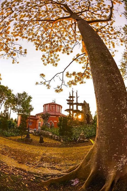 Từ cây duy nhất còn sống ở Bảo Lộc, một kỹ sư địa phương đã ươm giống và trồng thành công nhiều cây mới trên các tuyến đường hiện nay.