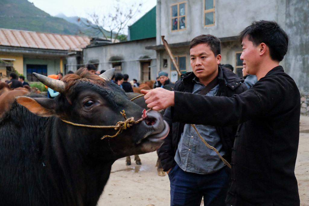 Bò được xem xét kỹ trước mỗi cuộc mua bán. Các du khách mua bò với các mục đích như làm thịt hoặc làm bò kéo nên cách chọn mỗi loại khác nhau...