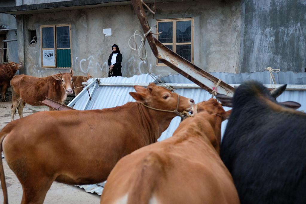 Người dân địa phương thường dắt bò tới chợ từ sáng sớm và tập trung lại một khu vực riêng để thuận tiện việc mua bán.
