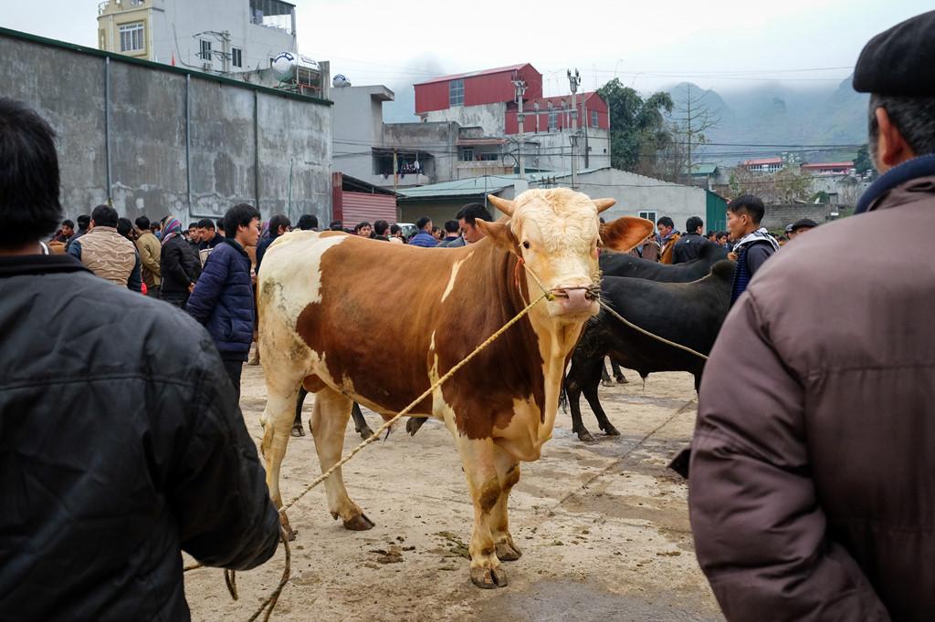 """Những con bò giống lai, có kích thước lớn, vạm vỡ ngày càng xuất hiện nhiều hơn ở phiên chợ, cần tới hai người hoặc hơn để đảm bảo chúng không bị """"quá khích""""."""