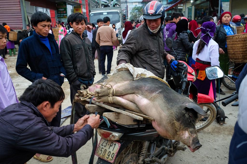 Lợn đang được buộc lại chặt để người mua chở về. Tại các vùng núi Tây Bắc xa xôi, thịt lợn là thực phẩm chính của người Mông trong những dịp trọng đại.