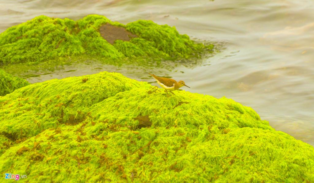 Sau những ngày biển động, đông lạnh giá, mùa rêu ở miền biển đảo Quảng Ngãi kéo dài từ tháng giêng đến tháng 3 Âm lịch. Tiết trời nắng ấm, những bãi đá, vách đá trầm tích núi lửa mọc rêu xanh khắp nơi.