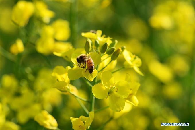 Hoa cải vàng nở còn thu hút những cánh bướm, bầy ong mật, đem tới bức tranh mùa xuân rực rỡ.