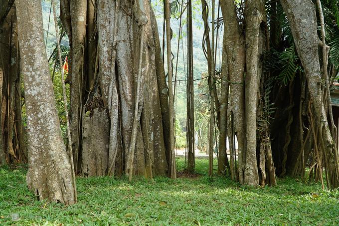 """Sở dĩ, dân gian gọi đây là """"cây đa di chuyển"""" bởi từ khi có ngôi đền Gối Đại, cây đã có 3 lần thay thân chính (gốc)."""