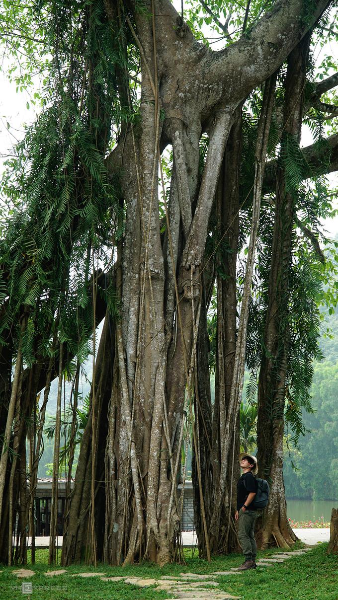 Theo nghiên cứu của các nhà khoa học, cây đa này có tuổi đời cả nghìn năm. Mỗi bước di chuyển của cây cách nhau khoảng 300 năm.