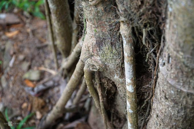 Quanh thân chính có cả hàng chục rễ lớn nhỏ giúp cây bám vững vàng xuống mặt đất.
