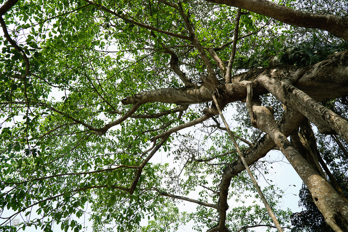 Cây cao hơn 20 m, tán rộng khoảng 50 m, lá xanh tốt.