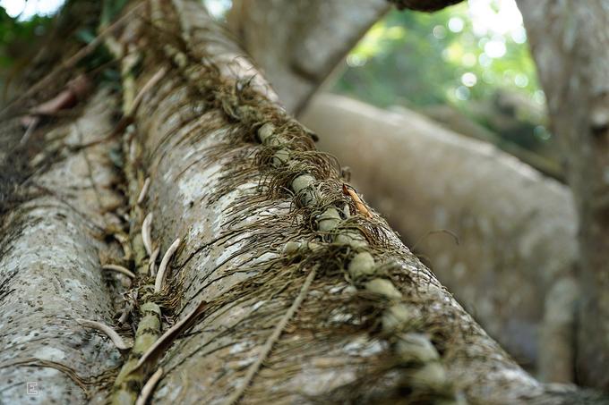 Bạn dễ dàng phát hiện nhiều cây dây leo đang bám trên thân đa. Ước tính, cần có khoảng 15 người nắm tay mới ôm trọn cây khổng lồ này.