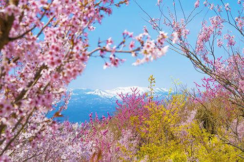 Bạn sẽ có dịp chiêm ngưỡng sắc hoa anh đào rực rỡ trên một ngọn đồi hoa ở tỉnh Fukushima.