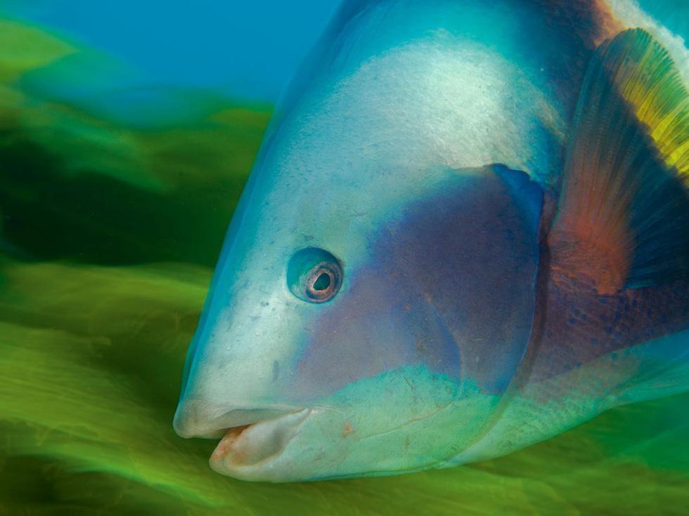 Những loài sinh vật biển nguyên sơ thu hút các thợ lặn khắp nơi trên thế giới đổ về khu bảo tồn sinh vật biển Poor Knight Island Marine Reserve - Ảnh: Brian J. Skerry