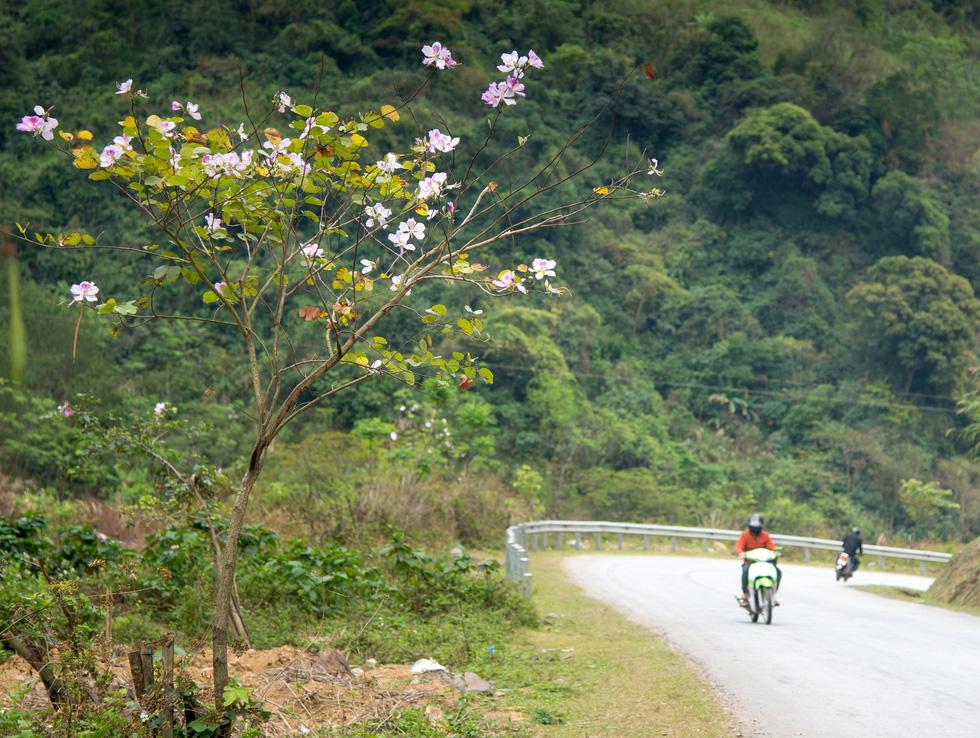 Cây ban nhỏ xinh nở hoa bên đường đoạn đèo Ban (huyện Phù Yên, Sơn La)