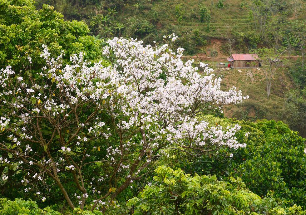 Một gốc ban đã nở hoa bên đèo Nhọt