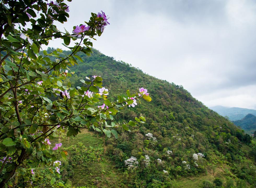 Những cây ban nở hoa tô điểm cho phong cảnh thêm đẹp tươi