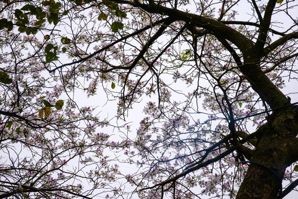Cây ban cổ thụ nở hoa xao xuyến lòng người