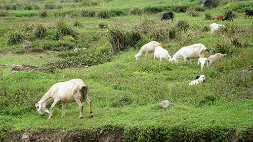 Những đàn dê được chăn thả bên sườn núi. Ảnh: Phong Vinh.