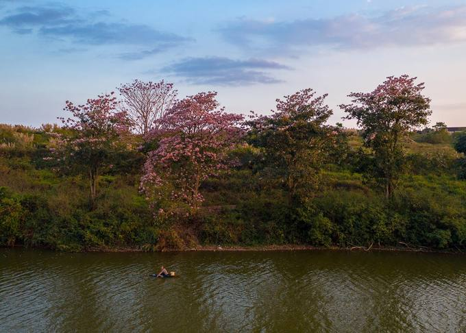 Sau mùa hoa mai anh đào và phượng vàng, thành phố Bảo Lộc đang được tô điểm bởi sắc hoa hồng phấn. Nơi trồng loài cây này nhiều nhất nằm ở khu vực bờ đông của hồ Nam Phương.