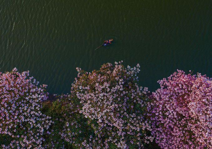 Hoa hồng phấn hay còn gọi kèn hồng, có nguồn gốc từ châu Mỹ. Cây thân gỗ cao 10-15 m với tán hình dù. Khi cây rụng hết lá cũng là lúc những chùm hoa bung nở phủ kín cây.